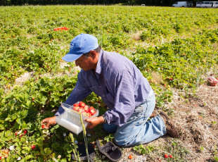 Picking strawberries in the field.